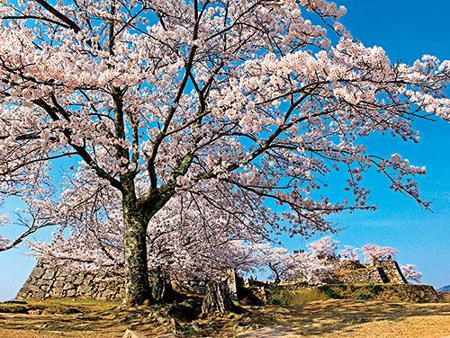 竹田城跡の桜
