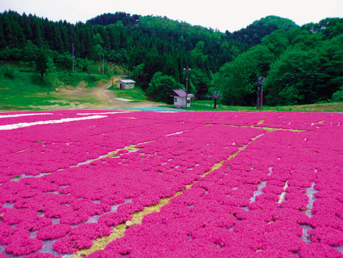 スイス村の芝桜