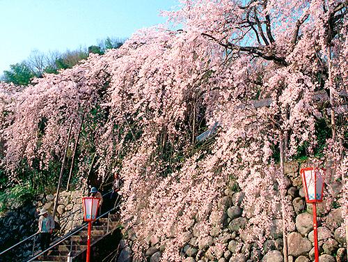 瑠璃寺のしだれ桜