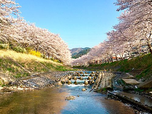 与保呂川千本桜
