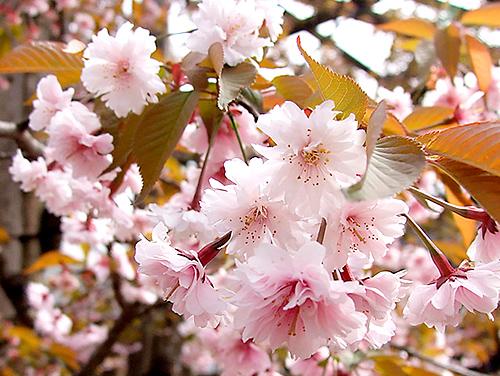 正福寺の桜