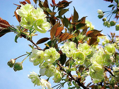 西福寺の鬱金桜