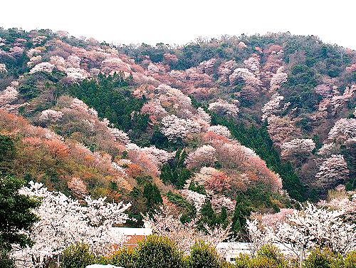 神子(みこ)の山桜