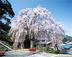 【小浜市】しだれ桜(妙祐寺)