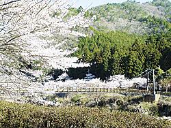 丹波市_川代桜(提供)