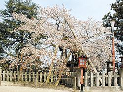宮津_含紅桜