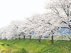 【おおい町】桜並木